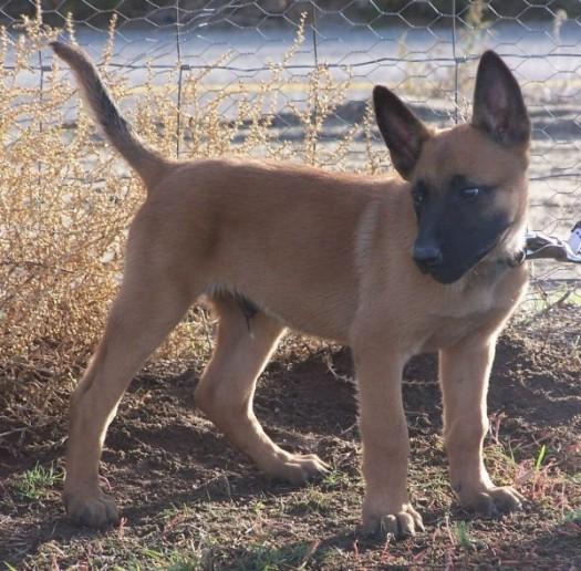belgian_malinois_puppy-e1480958711419