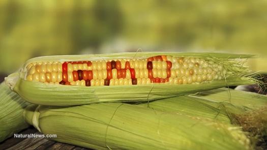 gmo-corn-crop-stalk