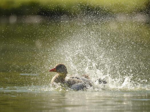 duck-water-lake
