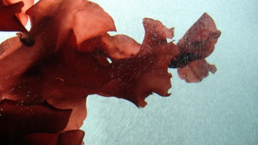 red-seaweed-could-be-a-potential-aid-for-cancer-treatment-study_strict_xxl