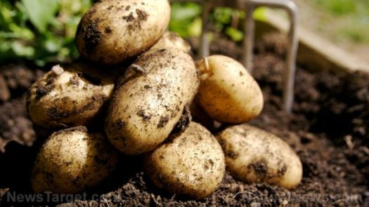 gmo-potatoes-crops-pitchfork-garden-e1495819446694