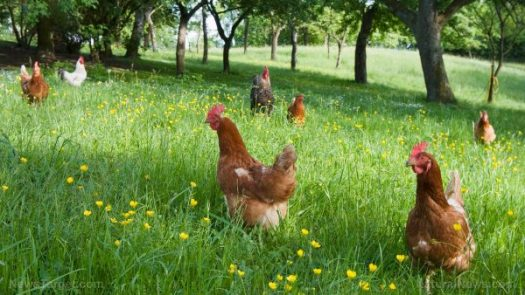 free-range-chickens-field-flowers-e1506537059229