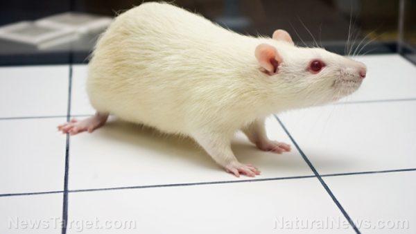 white-mouse-rat-lab-e1514548778309