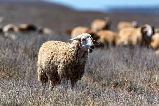 bs-sheep