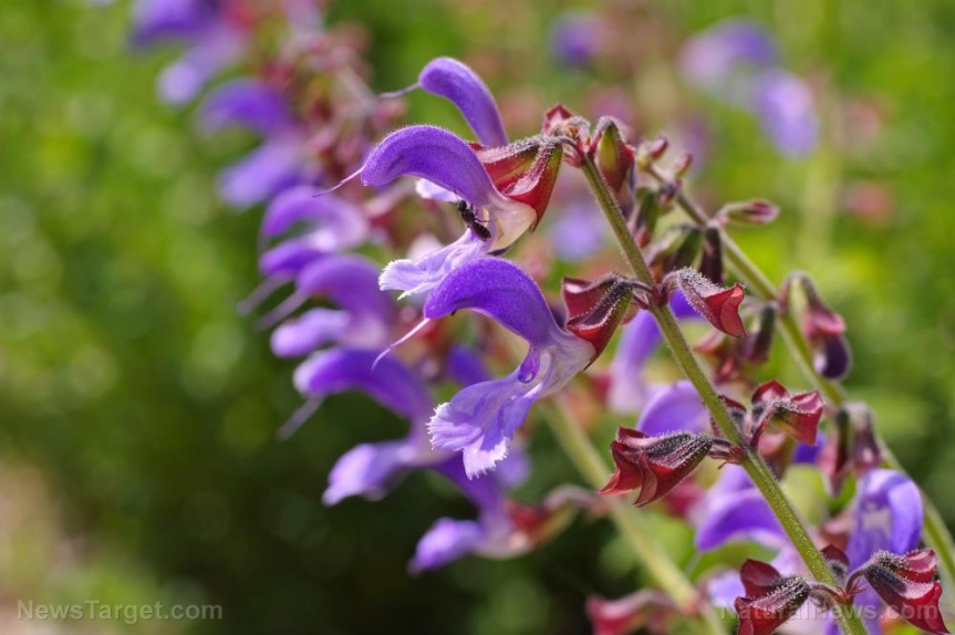 Can red sage protect against diabeticnephropathy?