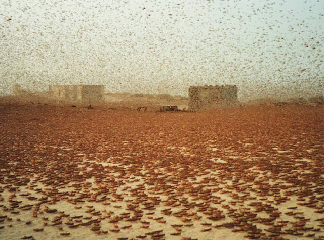 The story of how a small plague of locusts grew into billions in just over 12 months stretching from China sweeping all the way to Botswana in Southern Africa