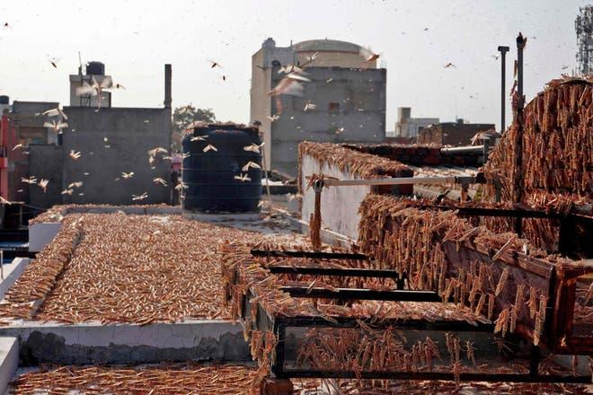 'Overtaken by aliens': India facing worst locust attack in 25years