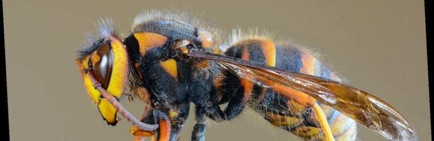 First Murder Hornet Nest Discovered Within the U.S. in Coastal Border City inWashington