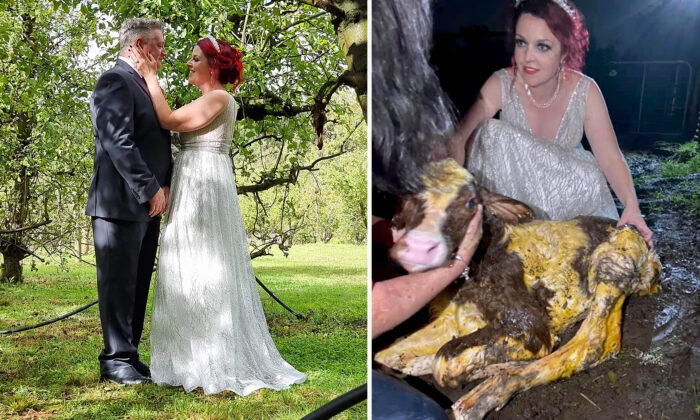 Australian bride delivers calf in her wedding gown duringreception